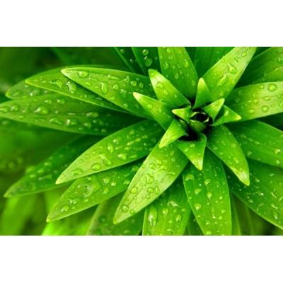 Fotomural Folhas Verdes FAN002