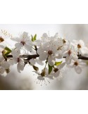 Fotomural APPLE TREE (SPRING) FT-1429