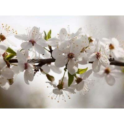 Fotomural APPLE TREE (SPRING) FT-1429