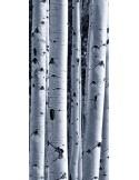 Fotomural White Birchs FTV1504