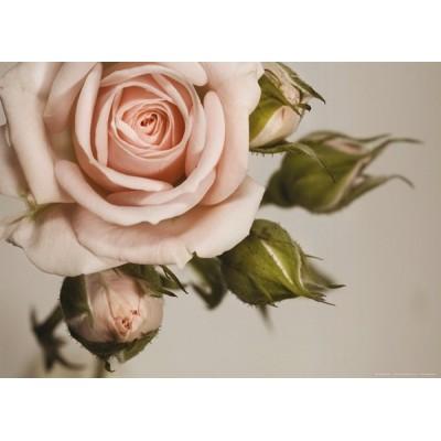 Fotomural PINK ROSE