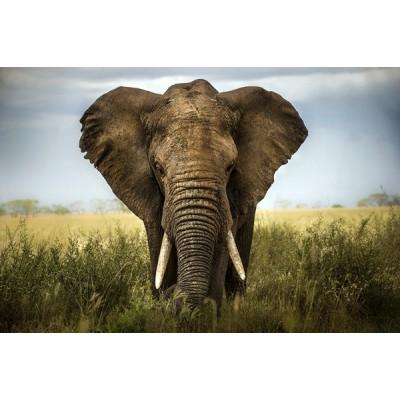 Fotomural Elefante FAN034