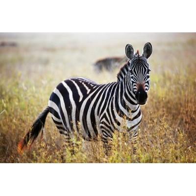 Fotomural Zebra FAN036