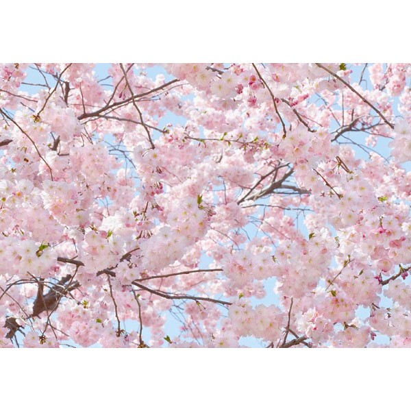 Fotomural PINK BLOSSOMS