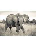 Fotomural ELEPHANT XXL4-529