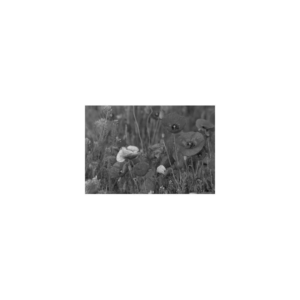 Fotomural Amapolas FFL008, 235cm. x 152cm., Vinilo Autoadhesivo Mate, Blanco y Negro, Invertir, 0x0x0x0 cm.