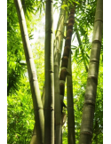 Fotomural Bosque de Bamb%C3%BA FNA005, 100cm. x 150cm., Vinilo Autoadhesivo Mate, Todo Color, Invertir, 0x0x0x0 cm.