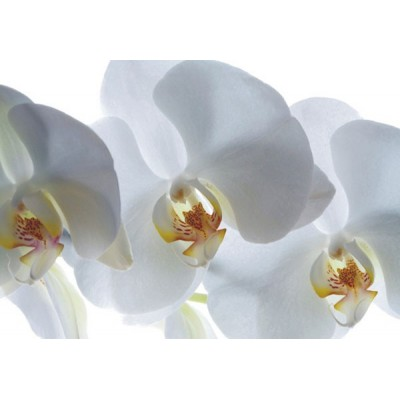 Fotomural WHITE ORCHID