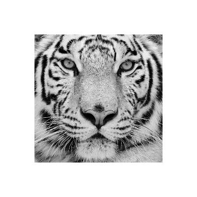 Fotomural Tigre FAN001, 150cm. x 150cm., Vinilo Autoadhesivo Mate, Blanco y Negro, Original, 0x0x0x0 cm.