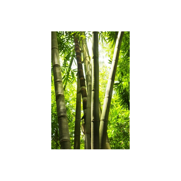 Fotomural Bosque de Bamb%C3%BA FNA005, 100cm. x 150cm., Vinilo Autoadhesivo Mate, Todo Color, Original, 0x0x0x0 cm.