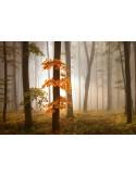 Fotomural FOGGY AUTUMN FOREST