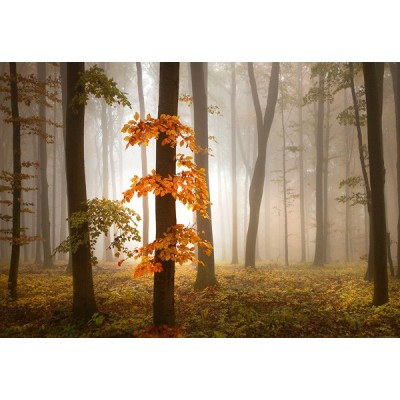 Fotomural FOGGY AUTUMN FOREST