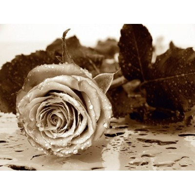 Fotomural BLACK AND WHITE ROSE